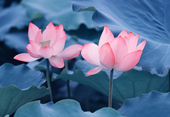 Garden Poster Lotus flower lotus flower plants with green leaves in lake
