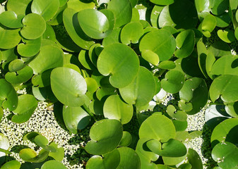 green composition with green leafs of Eichhornia Crassipes