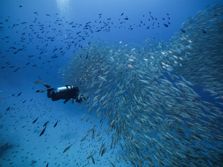 Bait ball in coral reef of Caribbean Sea around Curacao at dive site Playa Piskado