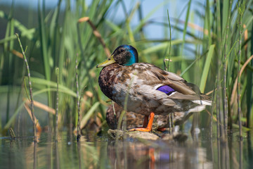 Duck sitting in the reeds