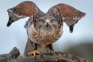 Ferruginous Hawk Unfurling Wings
