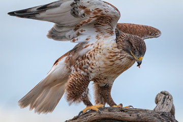 Ferruginous Hawk Mantling Its Prey With Its Wings In Southern Arizona