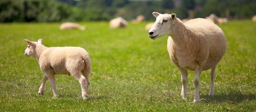Troupeau de mouton et agneau dans les prés