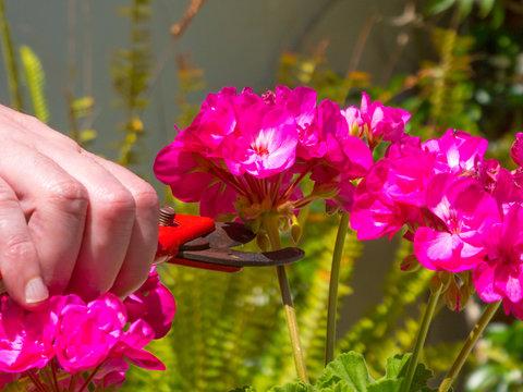 hand using a shears in a garden