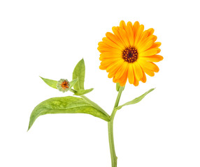 Marigold flower with green leaves isolated on white background. Calendula flower.
