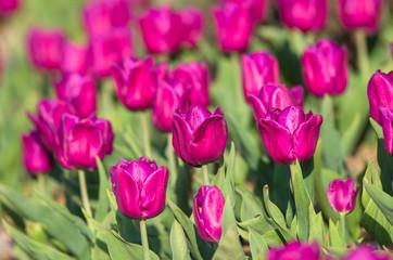 Spoed Foto op Canvas Roze Wild purple tulips on a glade on a sunny day.