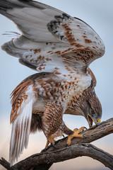 Ferruginous Hawk Mantling & Eating Its Prey In Southern Arizona