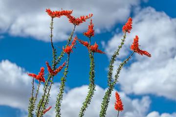 Ocotillo Cactus Blooms