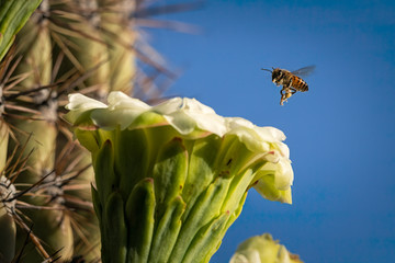 Honey Bee On Saguaro Cactus Bloom In Southern Arizona