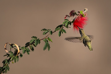 Hummingbird Enjoying Baja Fairy Duster Bloom Nectar In Southern Arizona