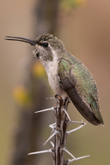 Hummingbird Sitting On Ocotillo Branch In Southern Arizona