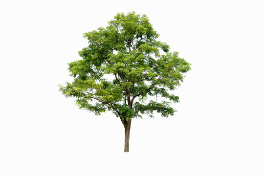 fresh tree on  white background  for architecture