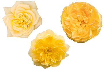 Blurred for Background.Yellow rose isolated on the white background. Photo with clipping path. Wall mural
