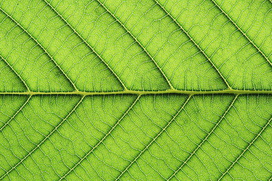 leaf vein abstract natural pattern background. diagonal stem line. green eco environmental and earth conservation concepts.