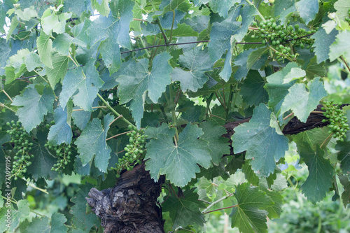 Fototapete An old and gnarled grape vine trunk supports and new developing crop of wine grapes.