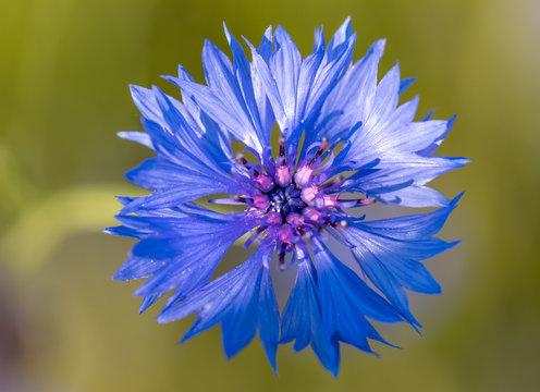 Beautiful blue Cornflower Centaurea cyanus. Beautiful flowers with blue bloom in summer meadow, Summer agriculture concept.