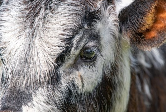 Close up photo of Longhorn Cattle in the UK