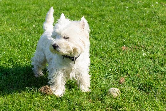 West Highland White terrier in the garden