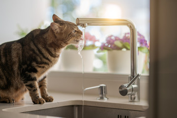 Foto op Aluminium Kat Beautiful short hair cat drinking water from the tap at the kitchen