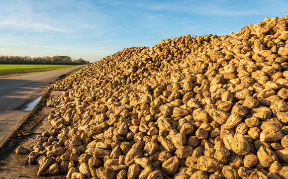 Large heap of harvested sugar beets on the roadside