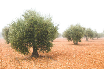 Olea europaea or olive trees cultivar in a misty day