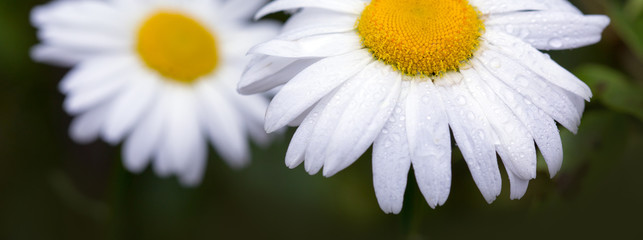 Macro Shot of white daisy flowers isolated on green background. Wall mural