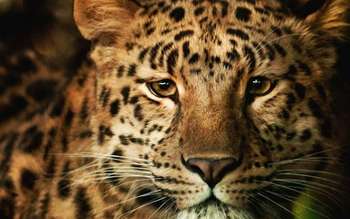 Door stickers Leopard Leopard