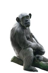 Ghimpanzee isolated on white
