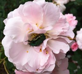 Rose Chafer 1