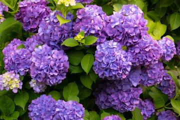 Fond de hotte en verre imprimé Hortensia 最盛期の満開のスゴイ紫陽花(あじさい)の花