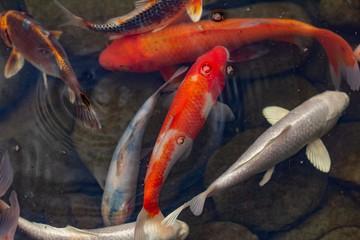Carp in pond, colorful fish,  beautiful.