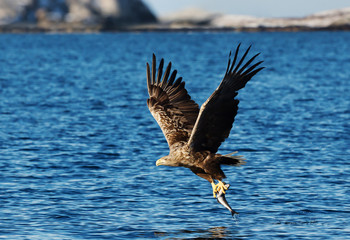 Close up of a White-tailed sea Eagle with a caught fish in claws Fotoväggar