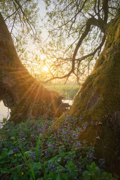 Willow trees with rising sun and lamium