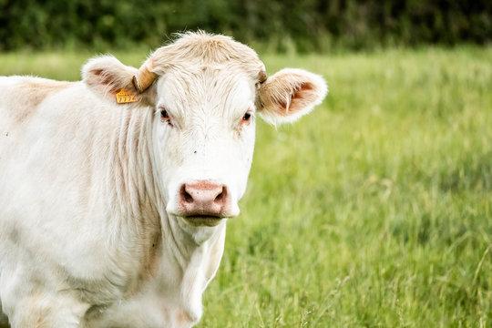 Portrait d'une vache blanche dans un champs