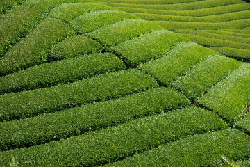 Landscape of green tea garden ,Shikoku,Japan