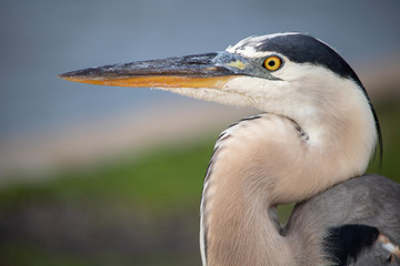 Great Blue Heron up close hung out for 2 hours while i was taking photos Wall mural
