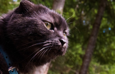 Close-up photo of a cute Scottish Fold (Munchkin) cat sniffing the fresh air of the forest.