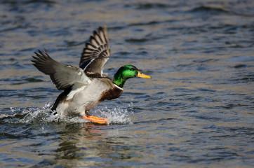 Fototapete - Mallard Duck Landing on the Cool Water