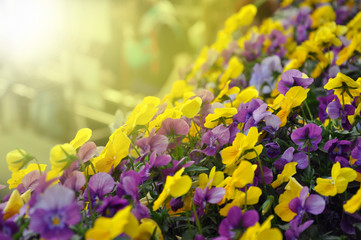 Poster Pansies Multicolor pansy flowers or pansies as background or card.