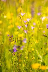 spreading bellflower  in a meadow in spring in Germany
