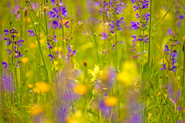 wild sage in a meadow in spring in Germany
