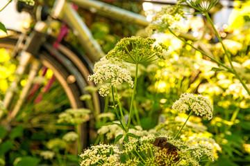 bicycles hidden behind ground elder