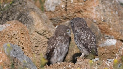 Fototapete - Two young little owls (Athene noctua) open their wings near their hole in natural stones