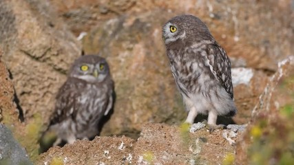 Fototapete - Two young little owls (Athene noctua). One owl stands on a natural stone and the second owl climbs out of a hole