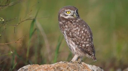 Fototapete - Young little owl (Athene noctua) stands on a stone spreads its wings and breathes heavily because of the heat
