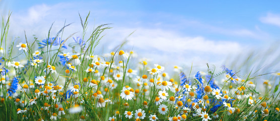 Wall Mural - Beautiful field meadow flowers chamomile, blue wild peas in morning against blue sky with clouds, nature landscape, close-up macro. Wide format, copy space. Delightful pastoral airy artistic image.