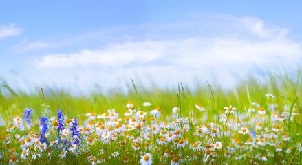 Wall Mural - Many daisies in the field in green grass in wind against blue sky with clouds.  Natural landscape with wild meadow flowers, wide format, copy space.