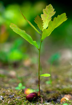 a young oak sprout sprouting from an acorn close-up on a blurred green background
