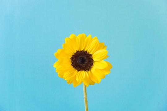 Sunflower, light blue background. ひまわり 水色背景