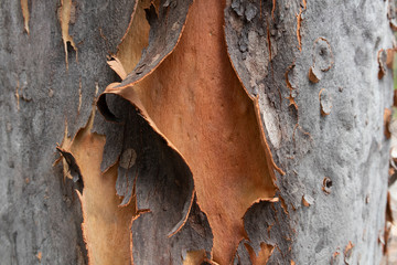 Tree Bark on a Gum Tree in the Australian outback